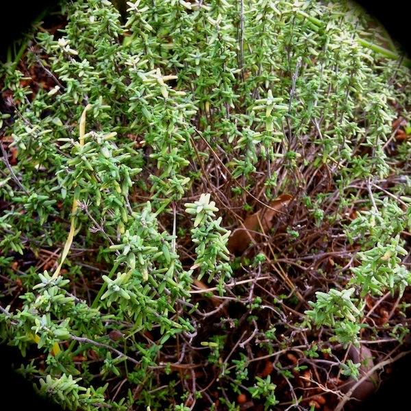 Thym et herbes de provence achat en ligne utilisations for Plante zaatar
